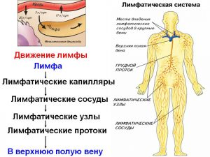 система лимфатических узлов